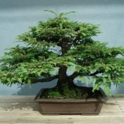 Sequoia Bonsai Tree - Everything You Need to Know