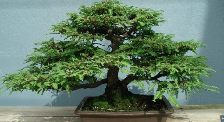 Sequoia Bonsai Tree - Everything You Need to Know
