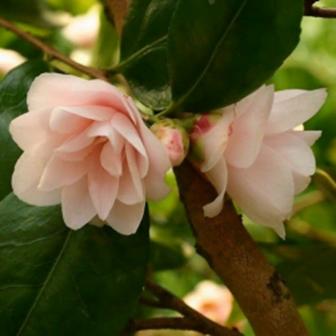 Spring Mist Camellia
