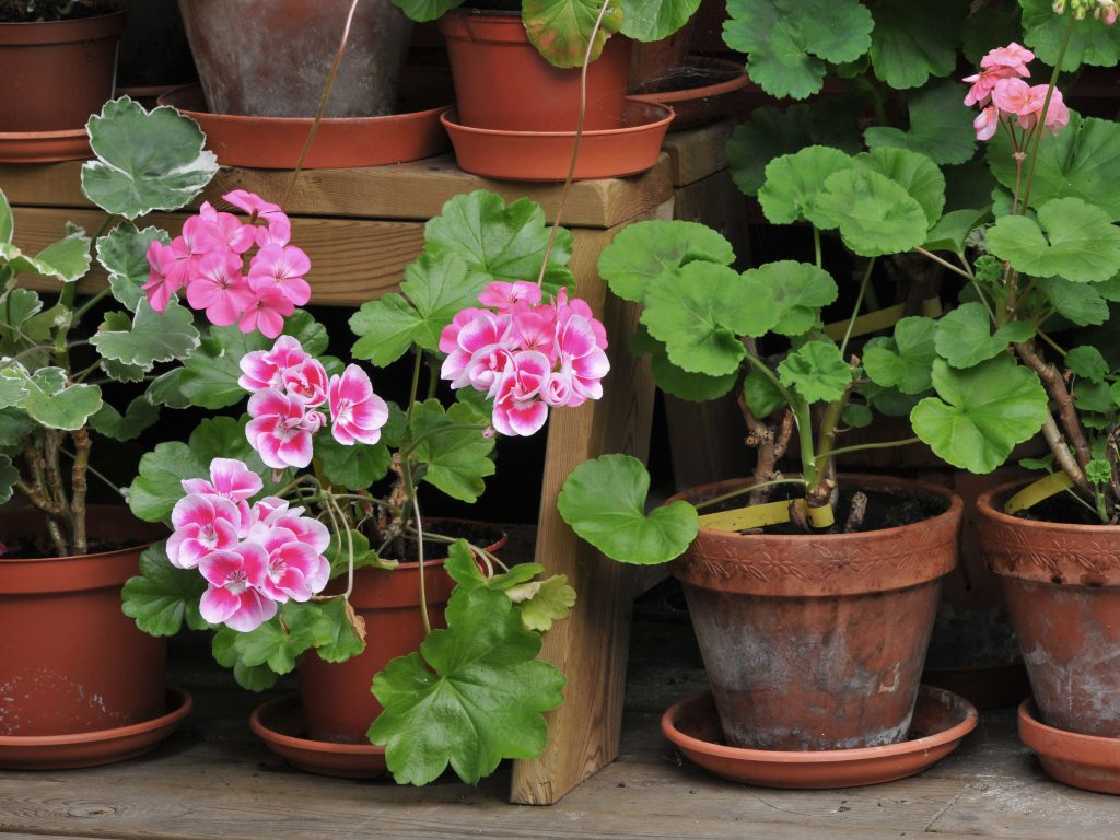 Stored Geraniums in Pots during Spring