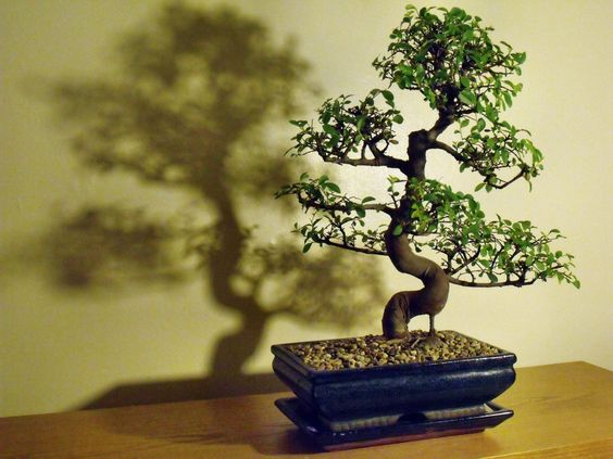 The Chinese Elm