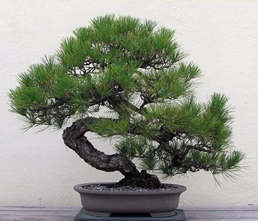 The Classic Pine