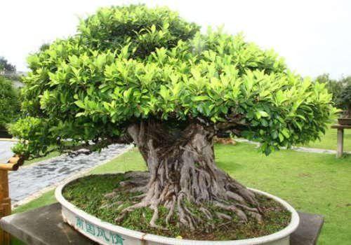 The Indian Banyan