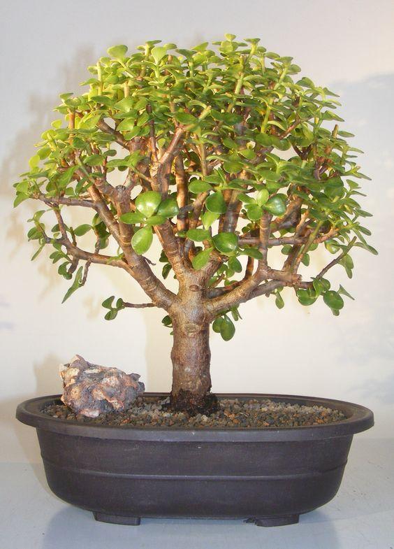 The Jade Bonsai