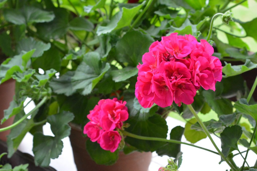 What are Geraniums